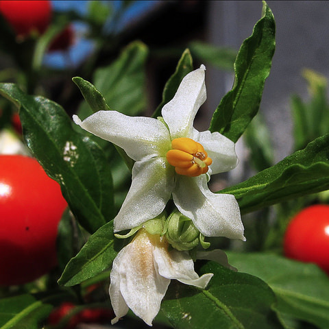 Arbuste fleurs blanches liste ooreka - Polygala myrtifolia feuilles jaunes ...