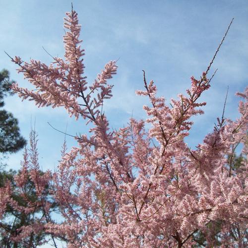quels arbres fleurissent en avril. Black Bedroom Furniture Sets. Home Design Ideas