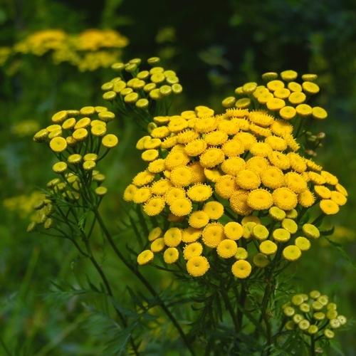 Fleur Anti Moustiques Liste