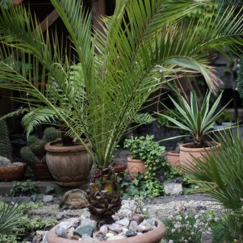Quel palmier en pot exterieur 28 images arbustes et for Plante palmier exterieur