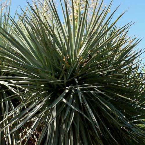 Plante bleue liste ooreka - Plante longue feuille pointue ...