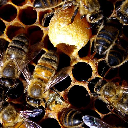 L'abeille, super-héroïne !