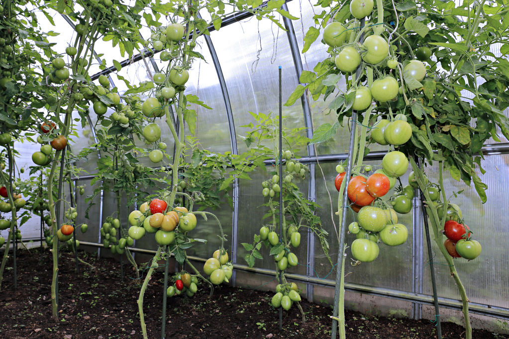 Culture de tomates sous serre principe avantages ooreka for Serre de culture interieur
