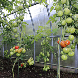 Protection de tomates