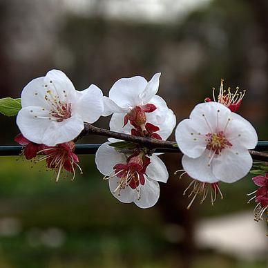 arbre à fleurs roses : liste - ooreka