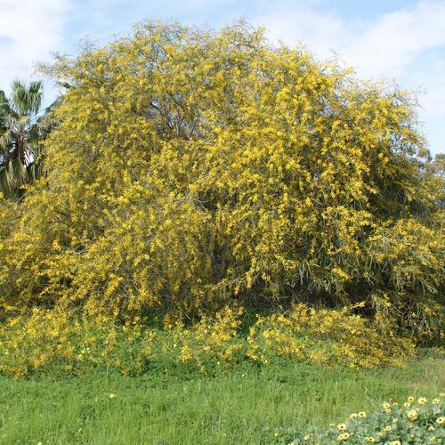 arbuste fleurs jaunes liste ooreka. Black Bedroom Furniture Sets. Home Design Ideas