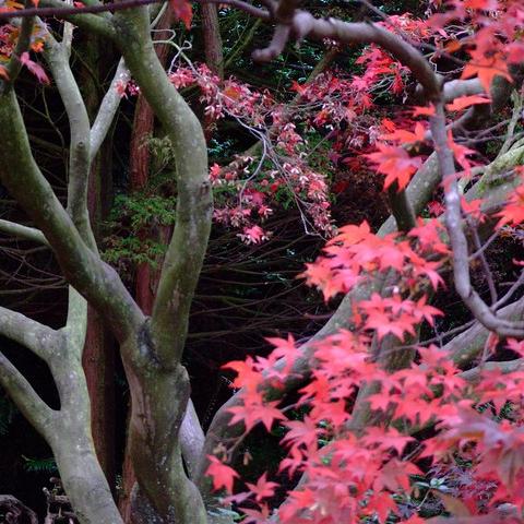 Arbre feuilles rouges liste ooreka - Baie du japon en 3 lettres ...
