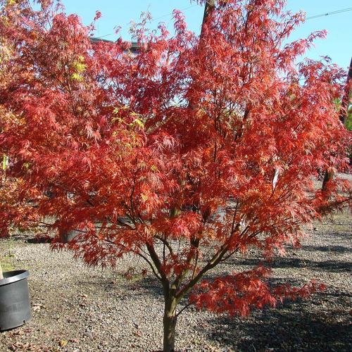 Arbuste rouge liste ooreka - Erable du japon orange dream ...