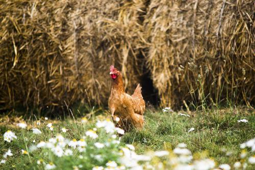 Acheter des poules