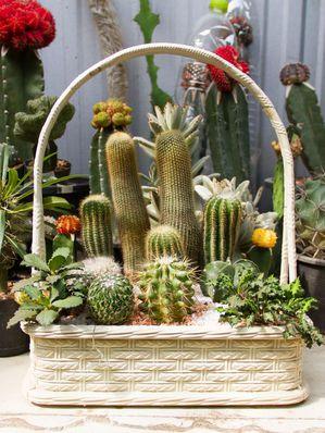 acheter un cactus ooreka. Black Bedroom Furniture Sets. Home Design Ideas