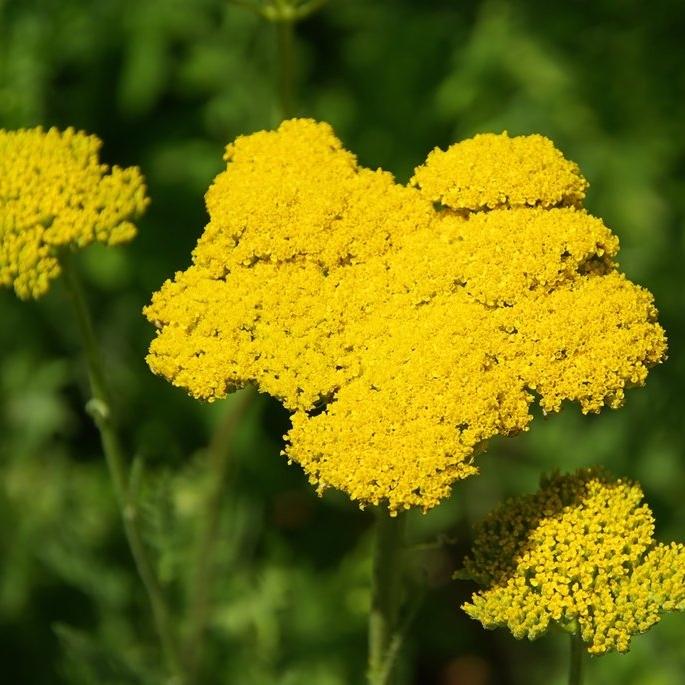 Plante Aromatique Vivace Liste Ooreka