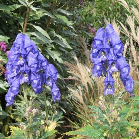 plante fleurs bleues liste ooreka. Black Bedroom Furniture Sets. Home Design Ideas