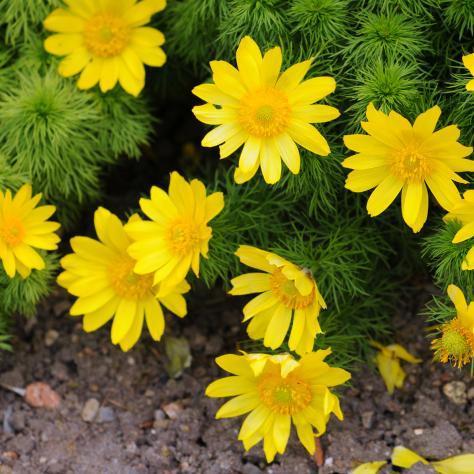 quelles fleurs planter en mars ?