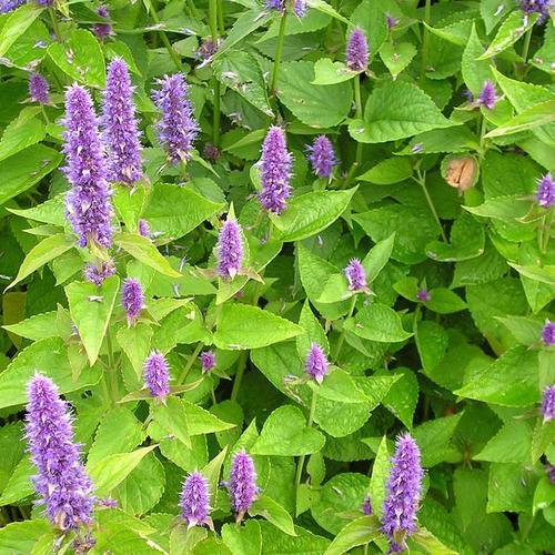 Fleur Violette Liste Ooreka