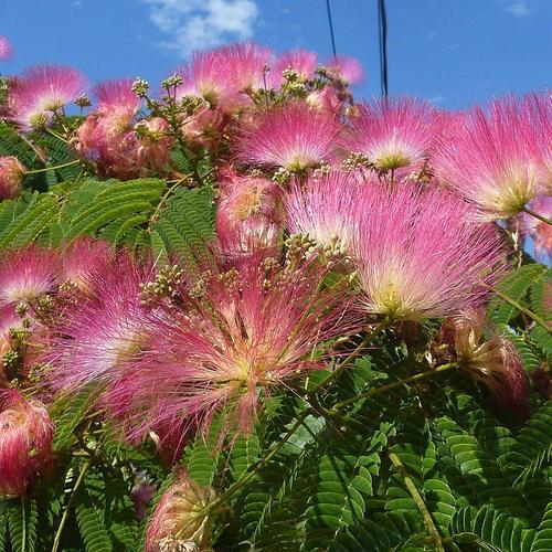 Liste des arbres parasols ooreka - Arbres mediterraneens croissance rapide ...