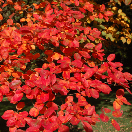 arbuste rouge : liste - ooreka