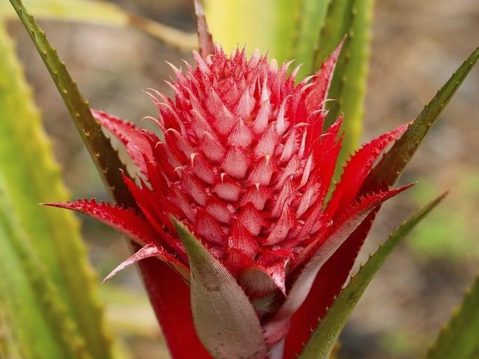 Bromeliacees for Conseil sur les plantes