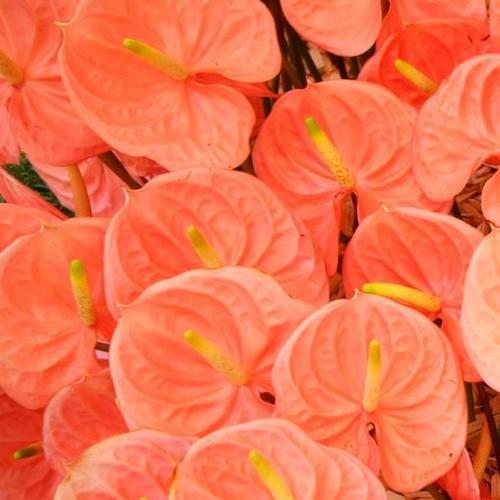 fleurs vivaces d 39 t liste ooreka. Black Bedroom Furniture Sets. Home Design Ideas