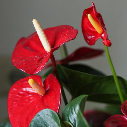 plante fleurie d'intérieur : liste - ooreka