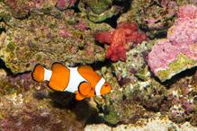 Poisson clown les types et les prix ooreka for Prix poisson rouge jardiland