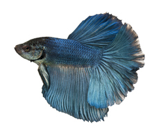Poisson combattant aquarium ses besoins ooreka for Nourriture pour poisson combattant