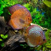 discus aquarium tout sur le discus ooreka. Black Bedroom Furniture Sets. Home Design Ideas