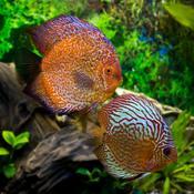 Discus aquarium