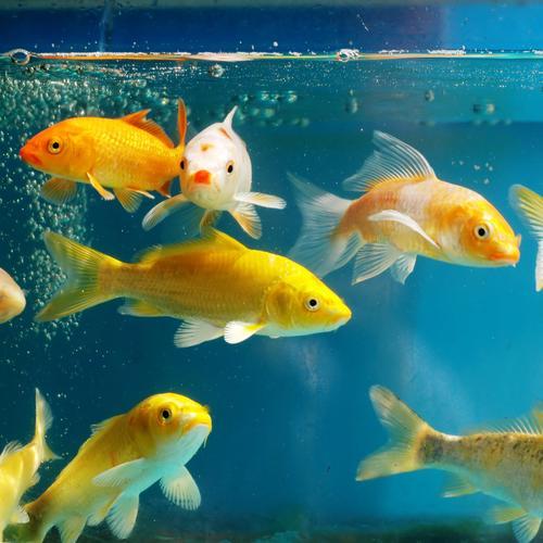 Nourrir un poisson rouge