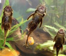 poisson nettoyeur ses besoins ooreka