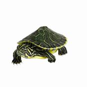 Aquarium : la tortue