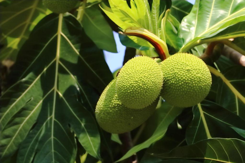 Fruit pain recettes et conservation du fruit pain ooreka - Arbre murier fruit comestible ...