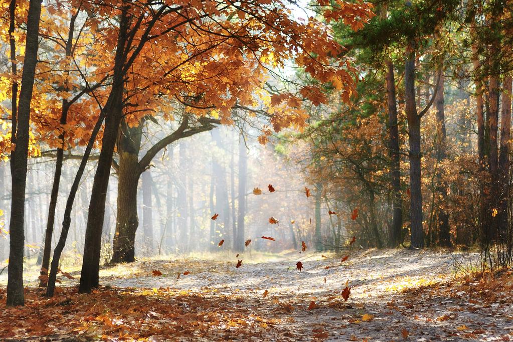 jardin automne pourquoi les feuilles tombent des arbres. Black Bedroom Furniture Sets. Home Design Ideas