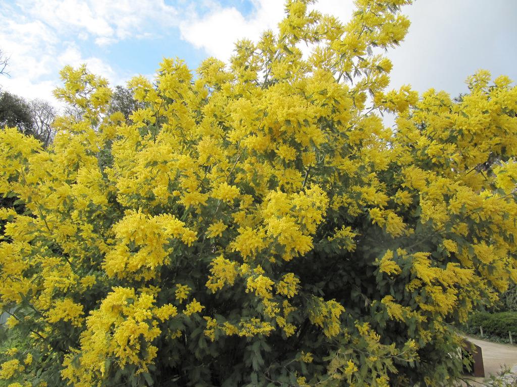 Les arbres à fleurs jaunes