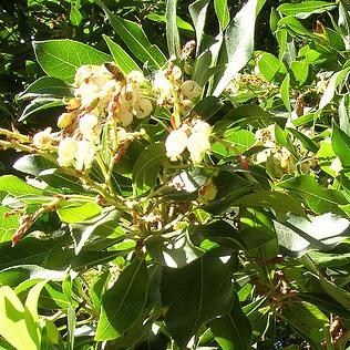 Arbuste A Fleurs Blanches Liste Ooreka