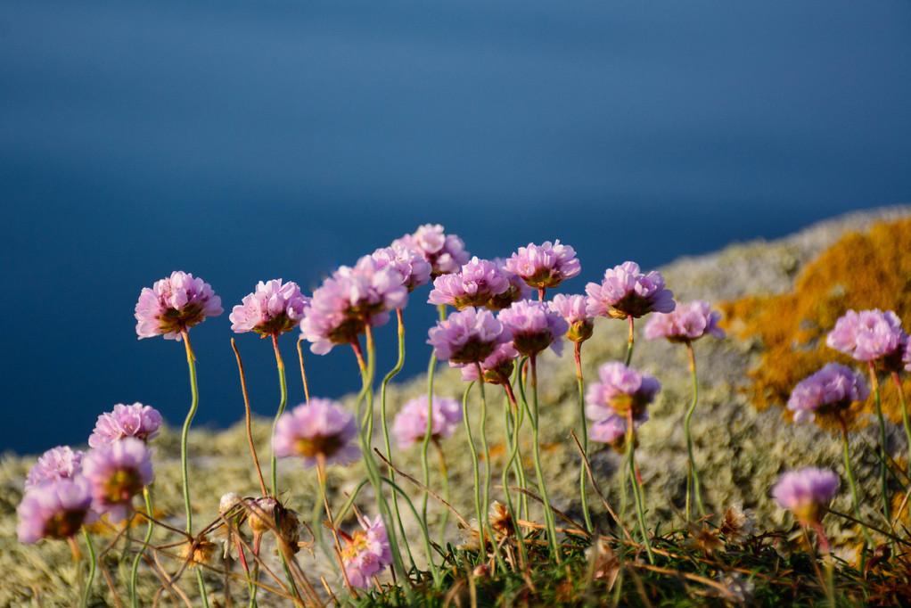 Fleurs de Bretagne : liste et caractéristiques - Ooreka