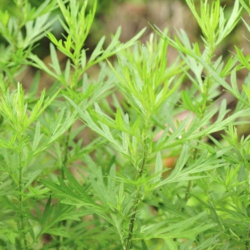 Fleur blanche liste ooreka for Plante verte haute exterieur