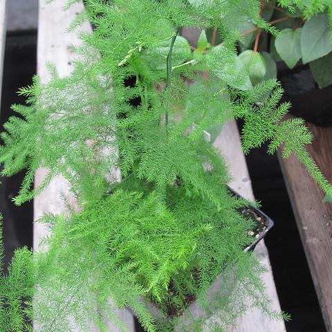 Plante pour v randa liste ooreka for Plante verte en pot pour terrasse