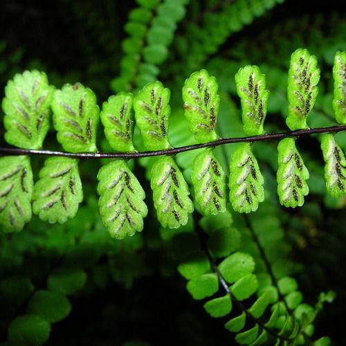 Foug re d 39 int rieur liste ooreka for Fougere d interieur plante