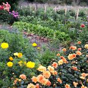 Associer fleurs et l gumes au potager potager - Association de legumes au potager ...