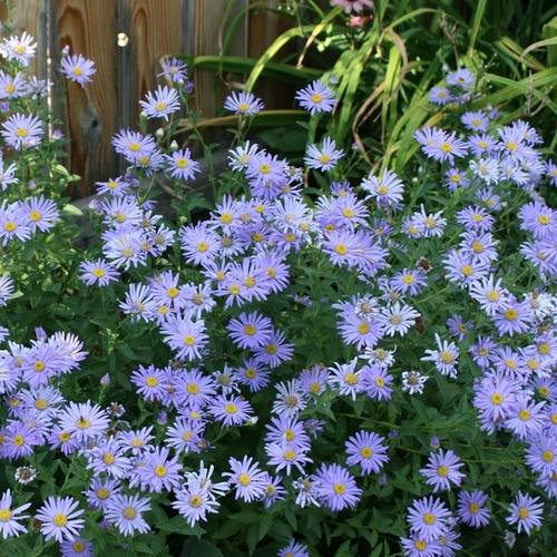 Plante A Fleurs Bleues Liste Ooreka
