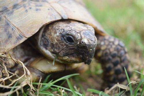 Avoir une tortue de terre conditions ooreka for Avoir une tortue a la maison