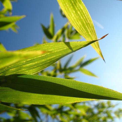 Bambou noir liste ooreka - Tuteur bambou gros diametre ...