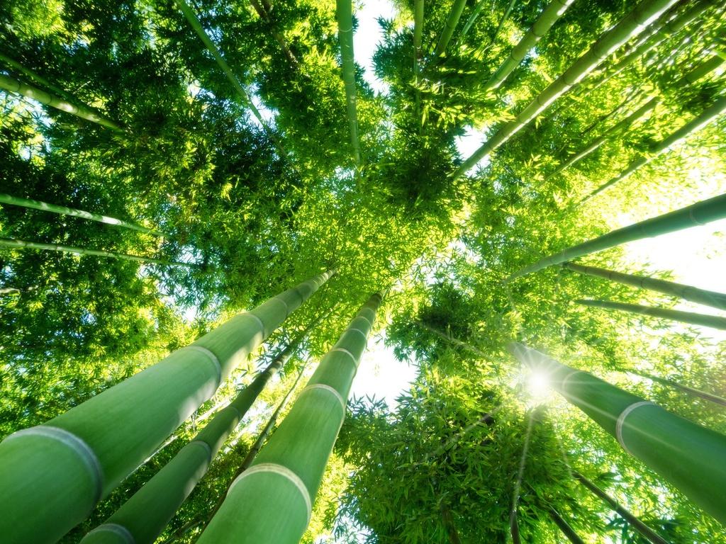 Bambou g ant d finition culture entretien ooreka - Entretien des bambous ...