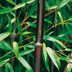 Bambou Noir Liste Ooreka