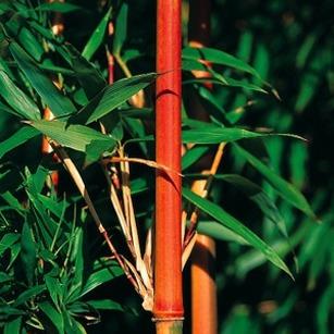Bambou Rouge Liste Ooreka
