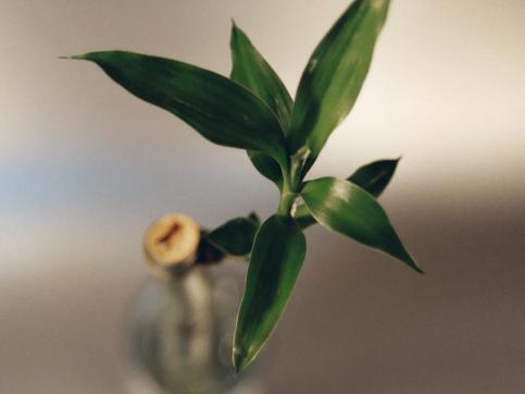 Bambou en pot - Ooreka