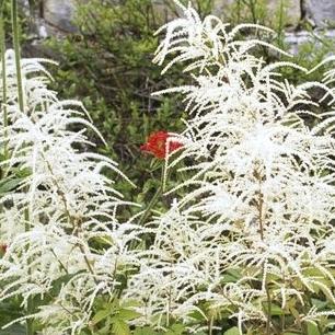 Rocaille Ombre plante vivace d'ombre : liste - ooreka