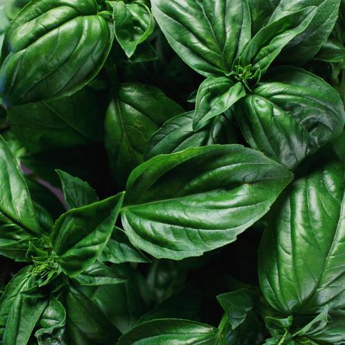 Plante anti puceron liste ooreka - Anti herbe puissant ...