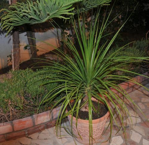 palmier exterieur en pot latest pot pour palmier exterieur saclection pots xxl grand pot pour. Black Bedroom Furniture Sets. Home Design Ideas