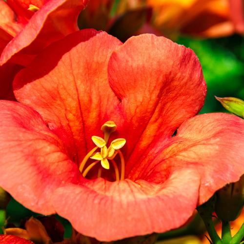 Arbuste fleurs rouges liste ooreka for Hibiscus exterieur rouge